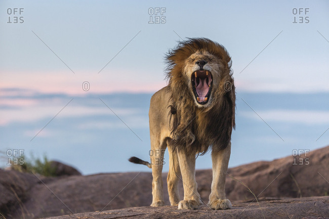 A portrait of Bob Marley, the lion named for his dreadlocked mane. Although in reality he is yawning, it appears as though he could be screaming in frustration; his expression is entirely relatable.