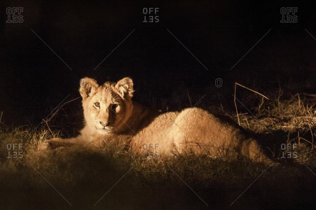 Lion laying at night