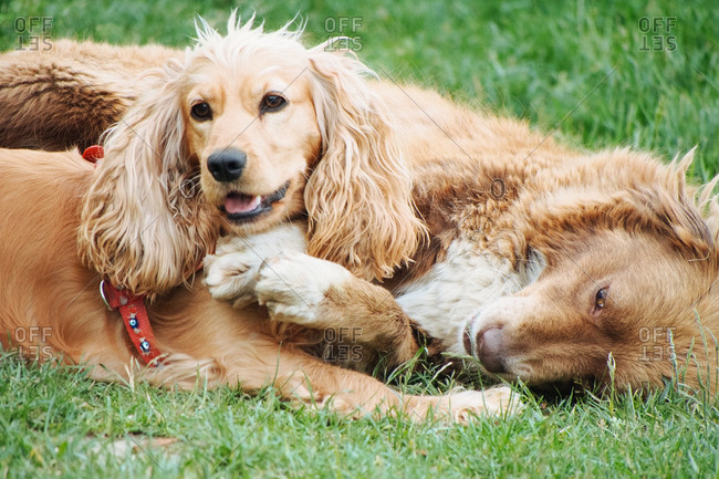 Two dogs lying happily together