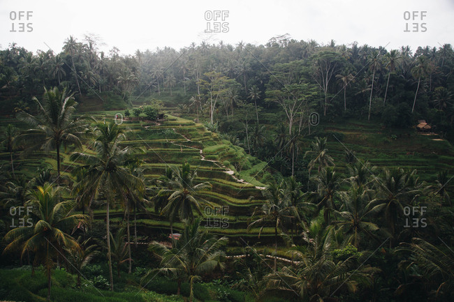 Scenic view in the early morning of Tegagalang rice terraces in Ubud, Bali, Indonesia