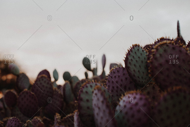Purple and green prickly pear cactus at dusk