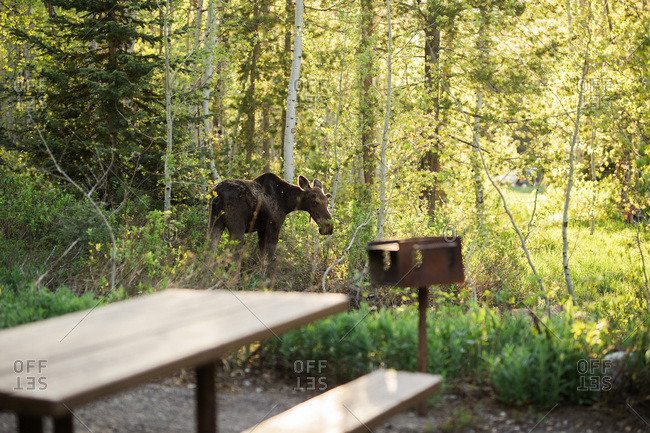Moose visiting a campsite