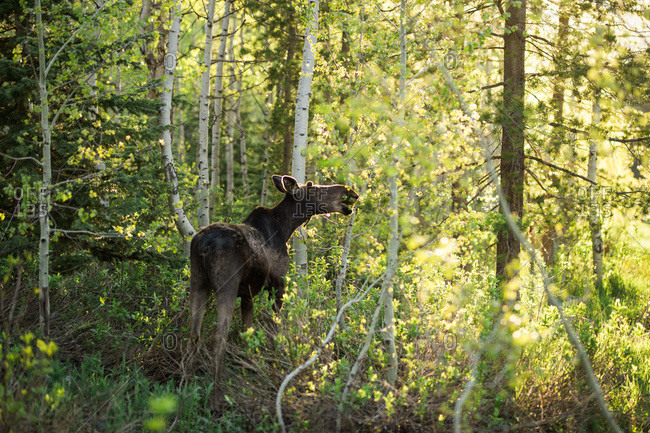 Moose feeding in a forest