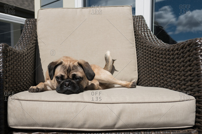 Pug dog sitting on patio chair relaxing