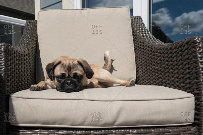 Pug dog sitting on patio chair resting