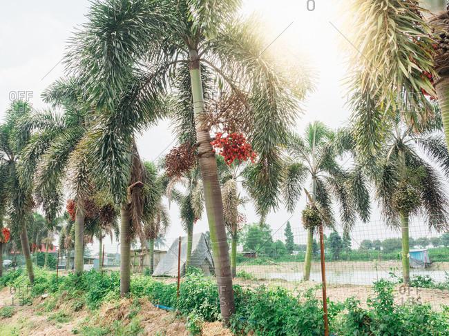 Areca catechu tree near the beach