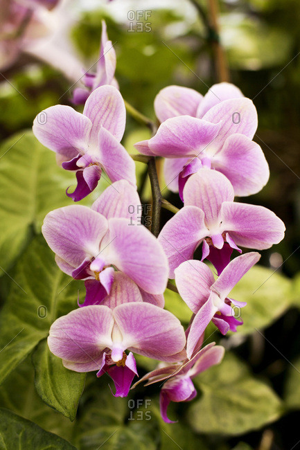 Purple orchids in bloom outdoors