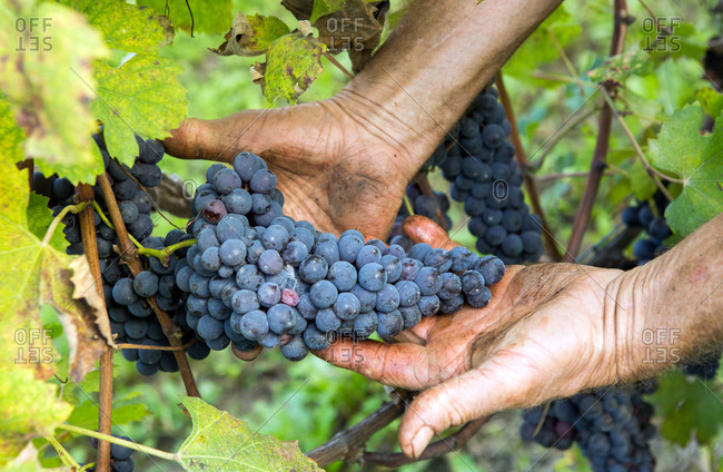 La Morra, Italy - October 17, 2014: A wine farmer shows grapes from a wine plant in La Morra in the province of Piedmont