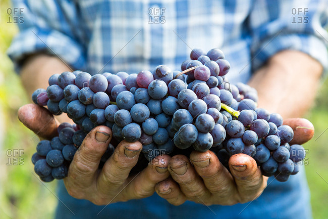La Morra, Italy - October 17, 2014: A wine farmer with his hands full of freshly harvested grapes in La Morra in the province of Piedmont