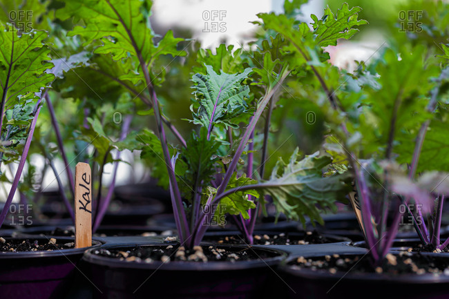 Kale seedlings in containers
