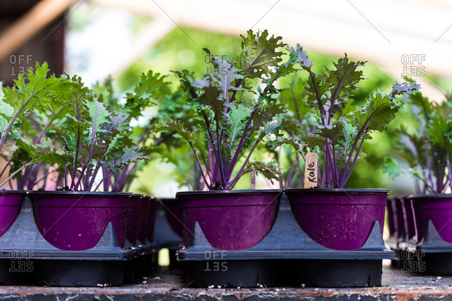 Containers of kale seedlings