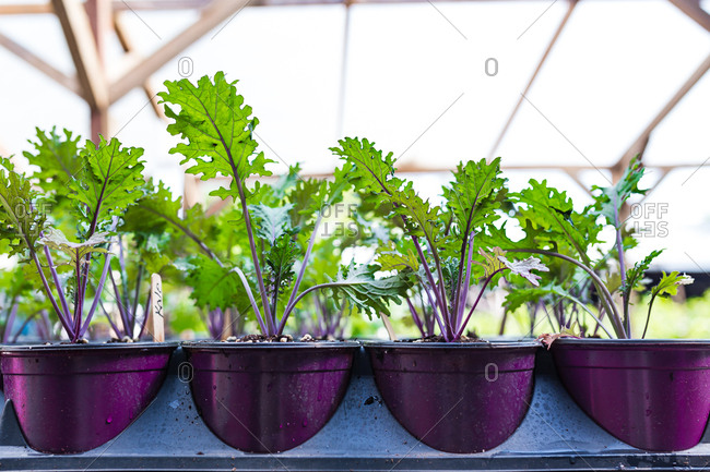 Rows of potted kale seedlings