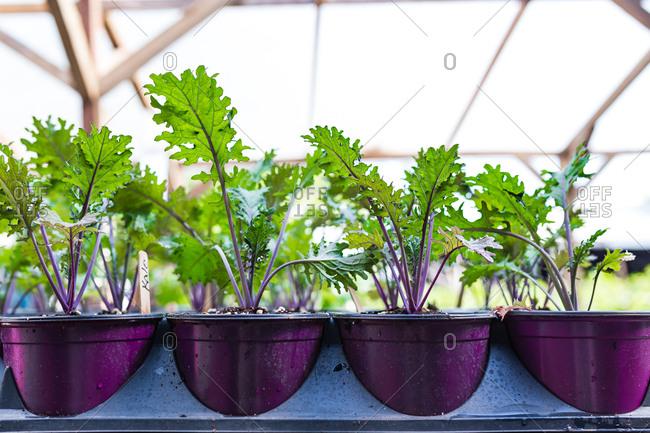 Rows of potted kale seedlings