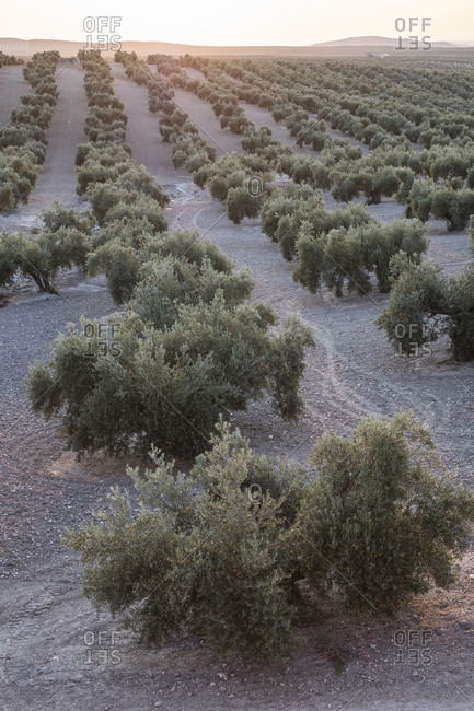 Olive trees in sunset image.