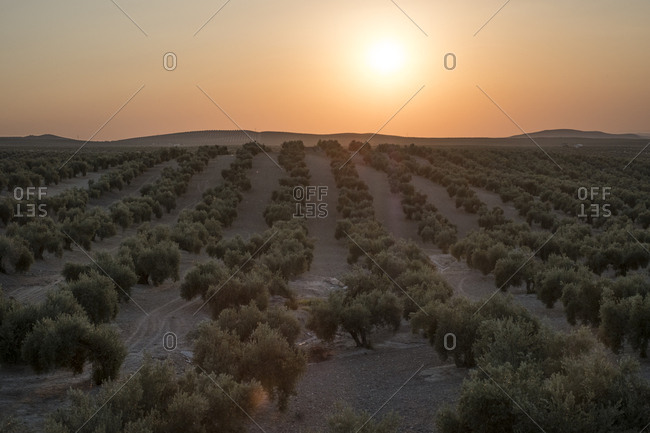 Plantation of olive trees at sunset