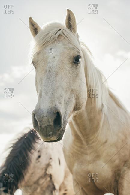 Close up of horses on the Umatilla Reservation, Pendleton, Oregon