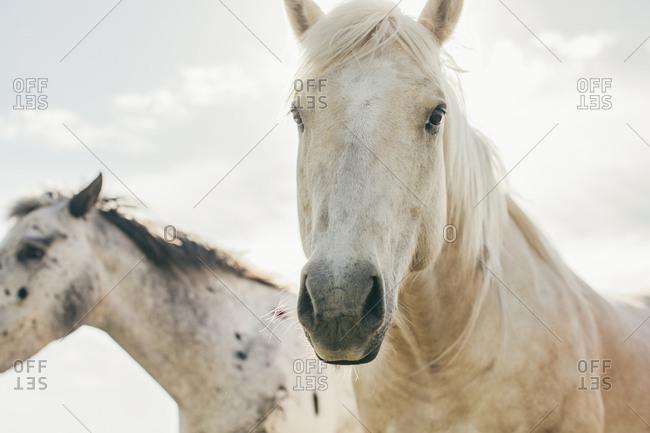 Horses on the Umatilla Reservation, Pendleton, Oregon