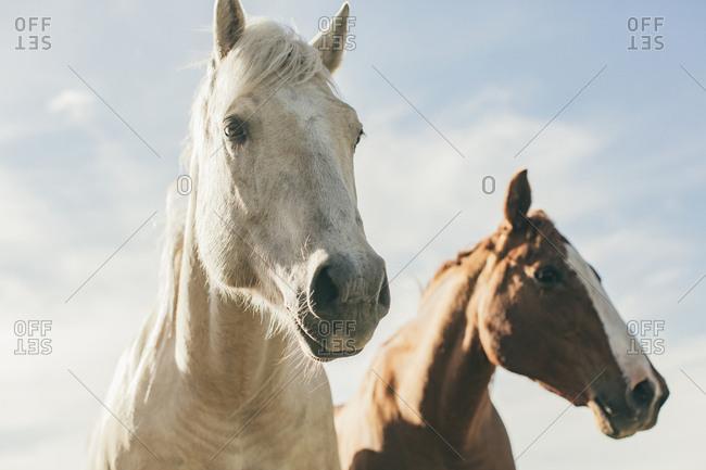 Two horses on the Umatilla Reservation, Pendleton, Oregon