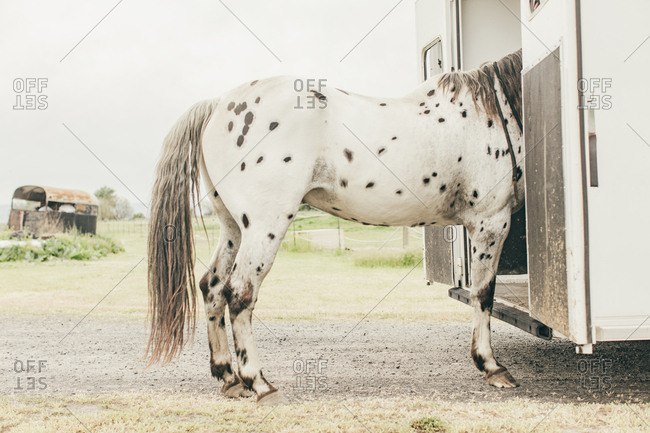 Spotted horse walking onto a trailer