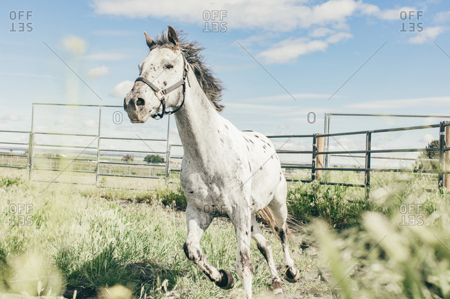 Spotted horse running on the Umatilla Reservation, Pendleton, Oregon