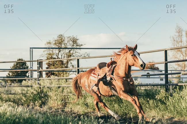 Brown horse running on the Umatilla Reservation, Pendleton, Oregon