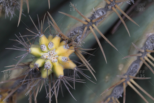 Bud and spines of a cactus species in a park.