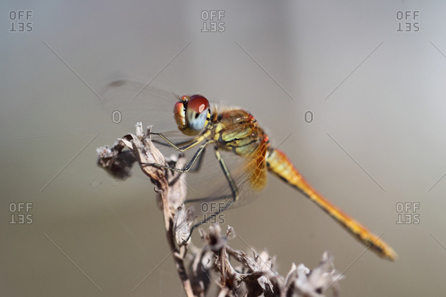 Close up of a female red-veined darter dragonfly, Sympetrum fonscolombii.