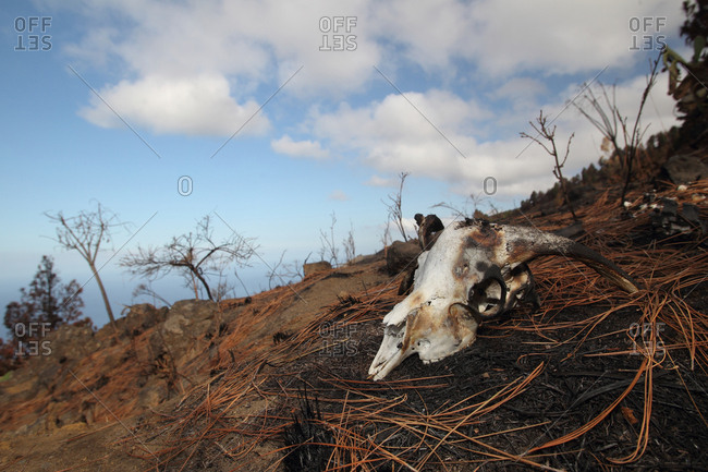 A goat burned to death in a bushfire.