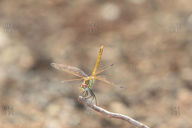 A female red-veined darter dragonfly, Sympetrum fonscolombii.