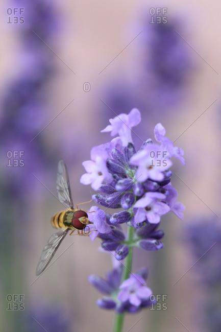 A marmalade hoverfly, Episyrphus balteatus, resting on lavender, Lavandula angustifolia.