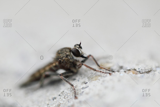 Close up of a robber fly, Asilidae species.