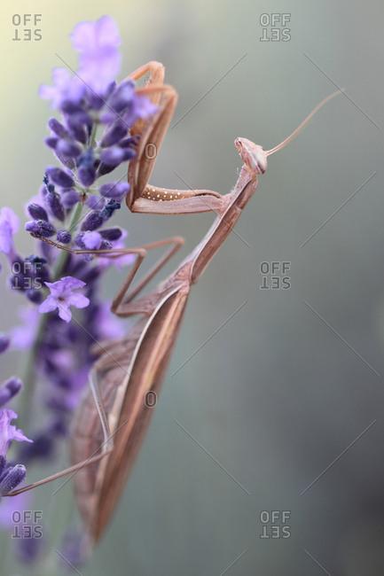 Mantises Stock Photos Offset