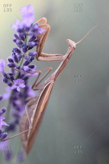 Brown color variant of praying mantis, Mantis religiosa, waiting for prey on lavender, Lavandula angustifolia.