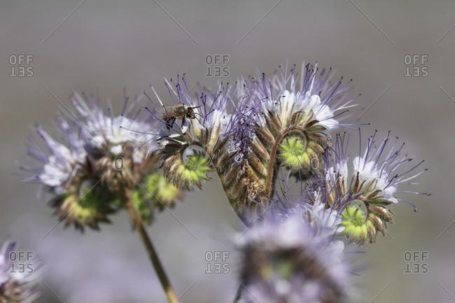 A honeybee, Apis mellifera, resting on a purple tansy, Phacelia tanacetifolia.