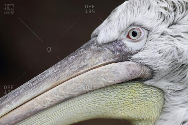 Portrait of a Dalmatian pelican, Pelecanus crispus.
