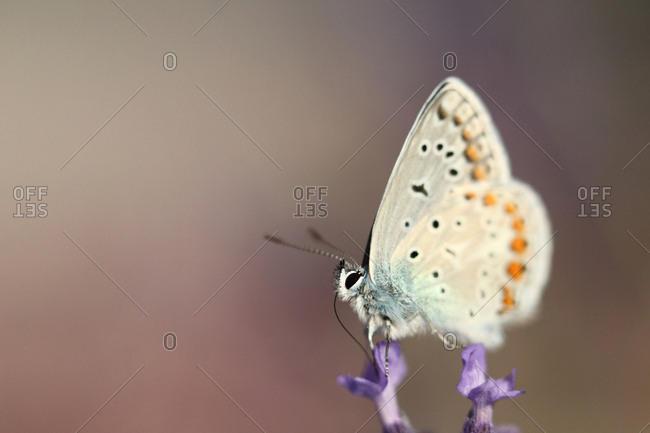 Common blue butterfly, Polyommatus icarus, resting on lavender, Lavandula angustifolia.
