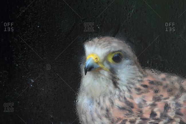A female European kestrel, Falco tinnunculus, rescued after an electric shock.