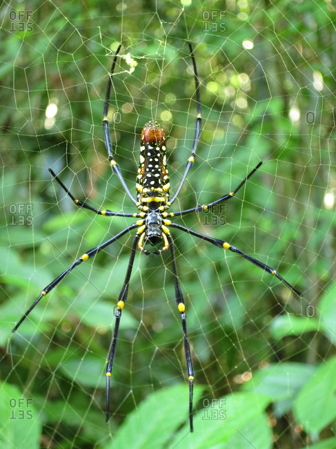 A female golden silk orb weaver, Nephila pilipes, on spider web.