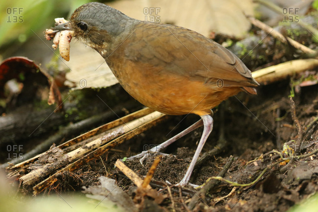 Moustached antpitta, Grallaria alleni, carrying worm in beak.