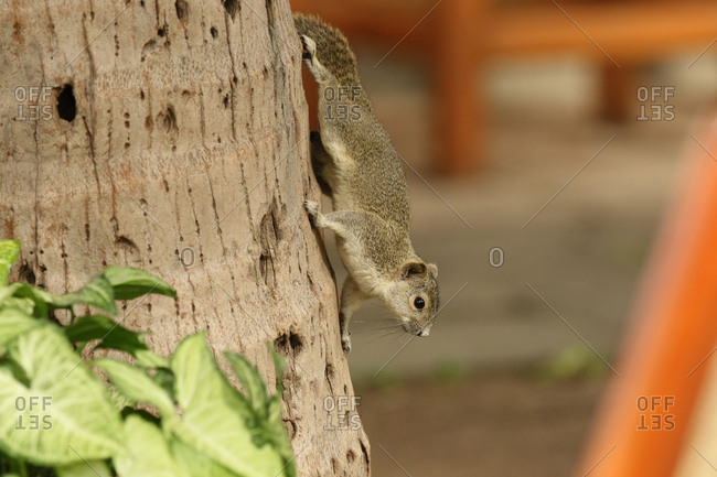 An Irrawaddy squirrel, Callosciurus pygerythrus, resting on a tree trunk