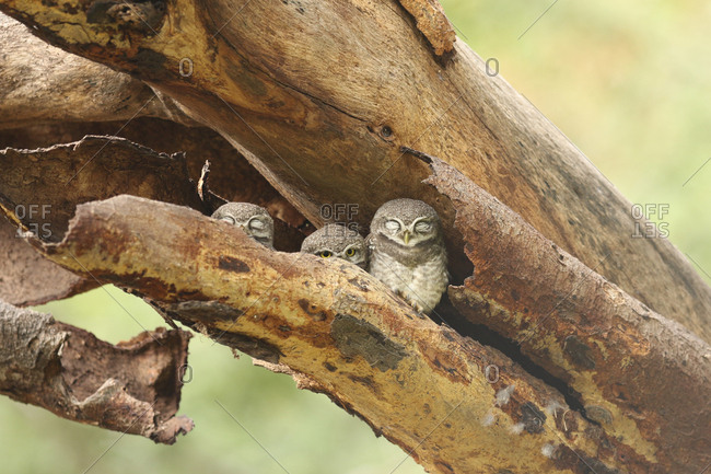 Three young spotted owlets, Athene brama, sleeping in a tree hollow.