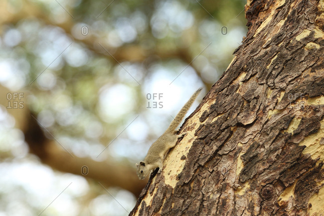 Irrawaddy squirrel, Callosciurus pygerythrus, on tree trunk.