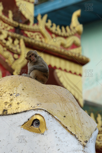Rhesus macaque, Macaca mulatta, at Mount Popa Buddhist monkey temple where monkeys are sacred.
