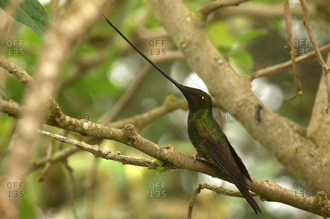 Sword-billed hummingbird, Ensifera ensifera, perching on the branch of a tree.