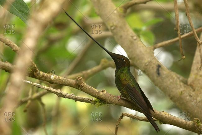 Sword-billed hummingbird, Ensifera ensifera, perching on the branch of a tree.
