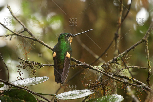 Buff-winged starfrontlet, Coeligena lutetiae, perches on a tree branch in Yanacocha Reserve, Ecuador.