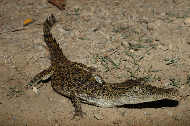 A young saltwater crocodile, Crocodylus porosus.