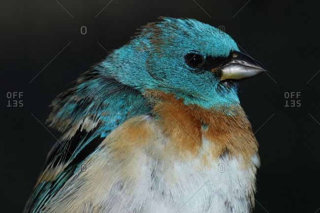 Close up of a male lazuli bunting, Passerina amoena.