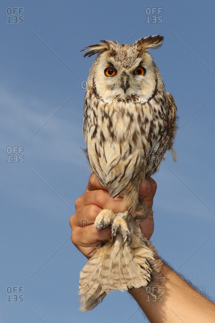 A man holds a long-eared owl, Asio otus.