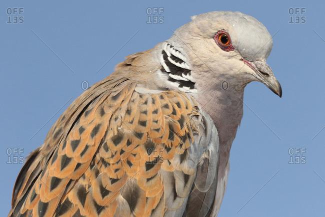 Close up of a European turtle dove, Streptopelia turtur.